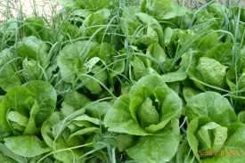 Salad growing in the farm